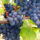 Diamond Creek Estate Pinot Noir grapes on vines